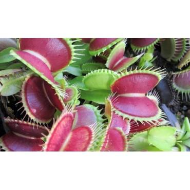 """Dionaea """"Schuppenstiel II"""""""