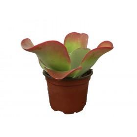 Kalanchoe thirsiflora