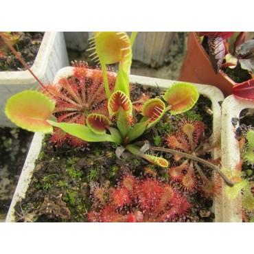"""Dionaea muscipula """"Cup Trap"""""""