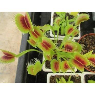 "Dionaea ""H15 BCP"""