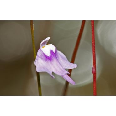 U. minutissima ( large flower, Gunung Tahan, Pahang, Malaysia)
