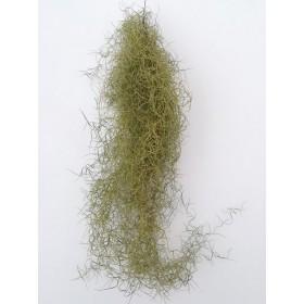 """Tillandsia usneoides """"verde"""""""