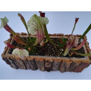 Jardinera de Sarracenia