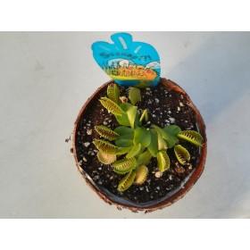 Dionaea muscipula en corteza