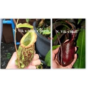 Nepenthes x [(viking x ampullaria x northiana) x (viking x rafflesiana)]