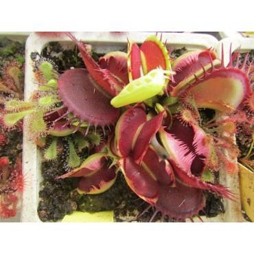 """Dionaea """"B52"""""""