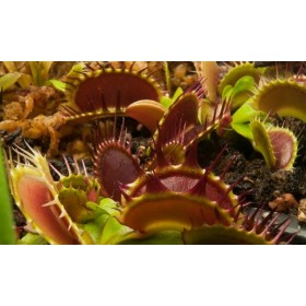 "Dionaea ""Fused Tooth Extreme"""