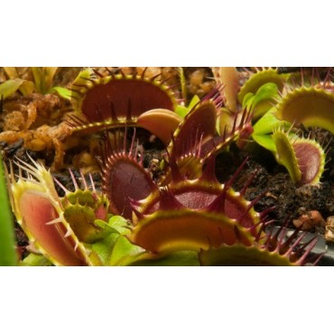 """Dionaea """"Fused Tooth Extreme"""""""