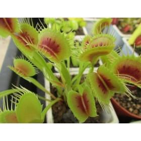 "Dionaea ""H15"""