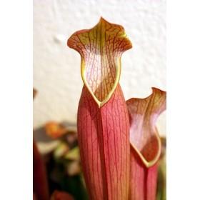 """Sarracenia rubra subsp. gulfensis """"Fat Pichers"""""""