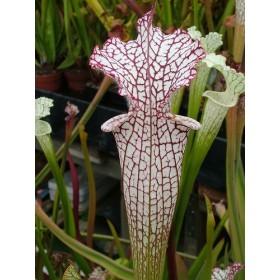 """Sarracenia leucophylla """"alba"""""""