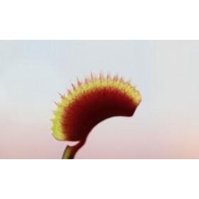 """Dionaea muscipula """"Red Piranha"""""""