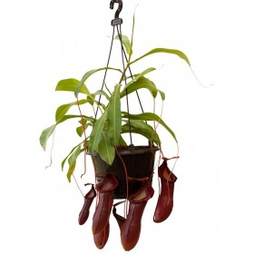 """Nepenthes """"Bill Bailey"""""""