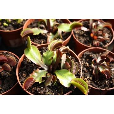 """Dionaea """"Akai Ryu"""""""