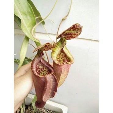 Nepenthes x [(mirabilis x miranda) x (viking x rafflesiana)]