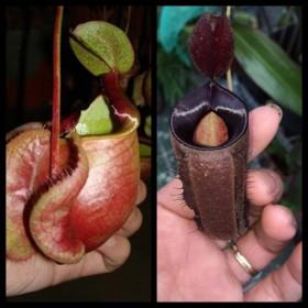 Nepenthes x [viking x ampullaria black]