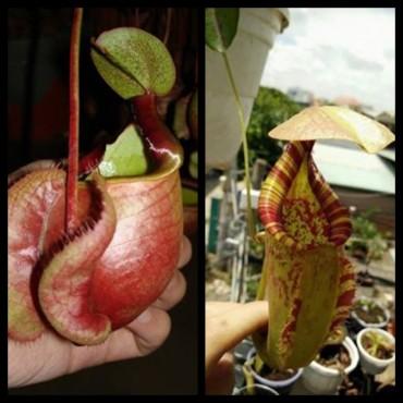 Nepenthes x [viking x rafflesiana]