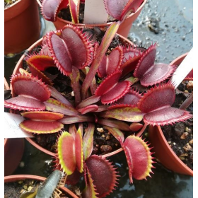 "Dionaea muscipula ""Red Shark's Teeth"""