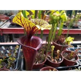 Sarracenia x [flava rubricorpora (RCP1) x flava var. rubricorpora Giant]