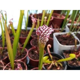 Sarracenia leucophylla, Eastpoint, Franklin Co