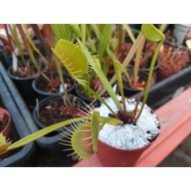 "Dionaea muscipula ""Bimbo"""