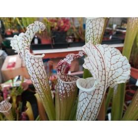 Sarracenia leucophylla Giant White Pitchers, ex McPherson
