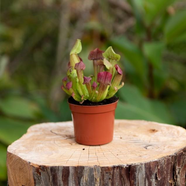 Sarracenia x maroon