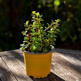 Portulacaria variegata