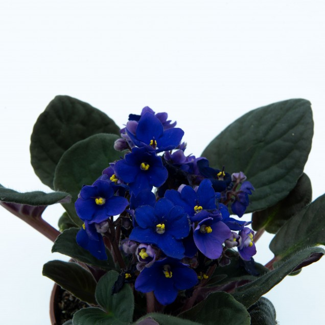 Saintpaulia (Violeta africana)