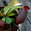 Nepenthes lowii x ventricosa