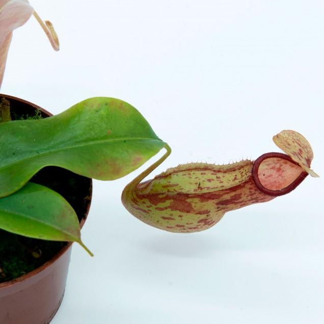"""Nepenthes """"Gaya"""""""