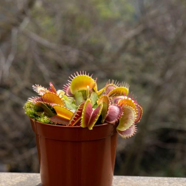 Jardinera con 2 Dionaeas