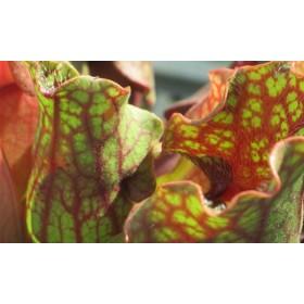 Sarracenia purpurea ssp. venosa, small red form, wavy lid