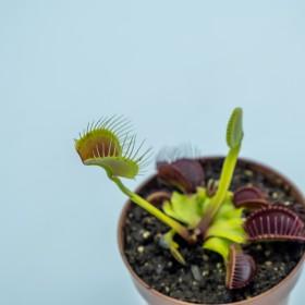 "Dionaea ""Dingley Giant"""