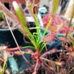 "Drosera capensis ""Bains Kloof"""