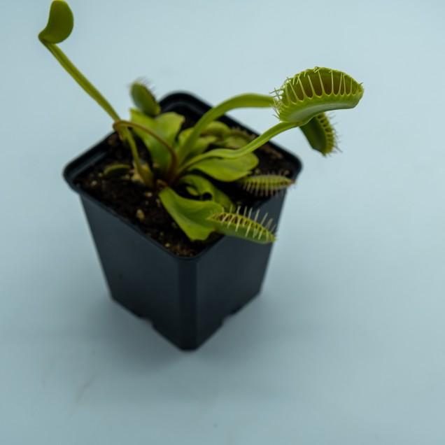 "Dionaea ""Large Erect Pink Trap"""
