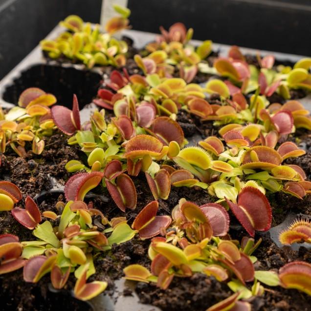 """Dionaea """"Periscope"""""""