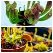 Pack Dionaea y Sarracenia