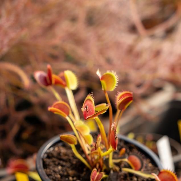 """Dionaea """"Le Grosse à Guigui"""""""