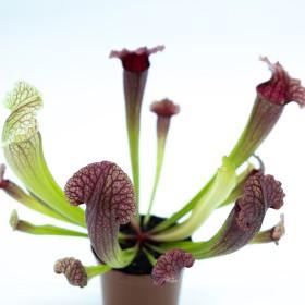 "Sarracenia ""Fiona"""