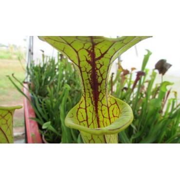 Sarracenia flava var. flava, Dinwiddie, Virginia, MK F6