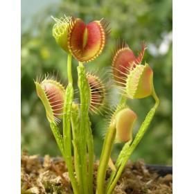 "Dionaea ""Funnel Trap"""