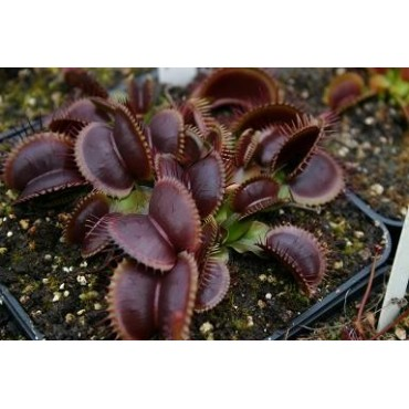 "Dionaea ""Royal Red"""