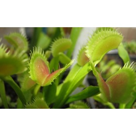 "Dionaea ""Red Road Oxford"""