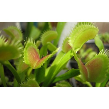 """Dionaea """"Red Road Oxford"""""""