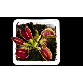 "Dionaea ""Tim's Giant"""