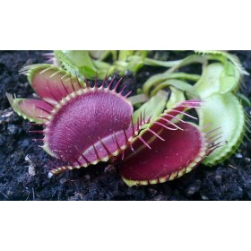 "Dionaea ""Fine Tooth x Red"""
