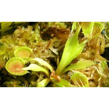 """Dionaea """"Cup Trap"""""""