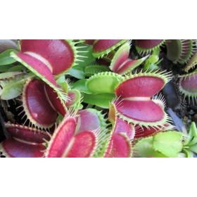 Kit 2 Dionaeas