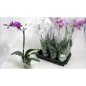 Phalaneopsis 1 VARA 35cm